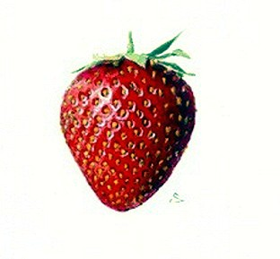 Botanical - Fruit - Strawberry 2