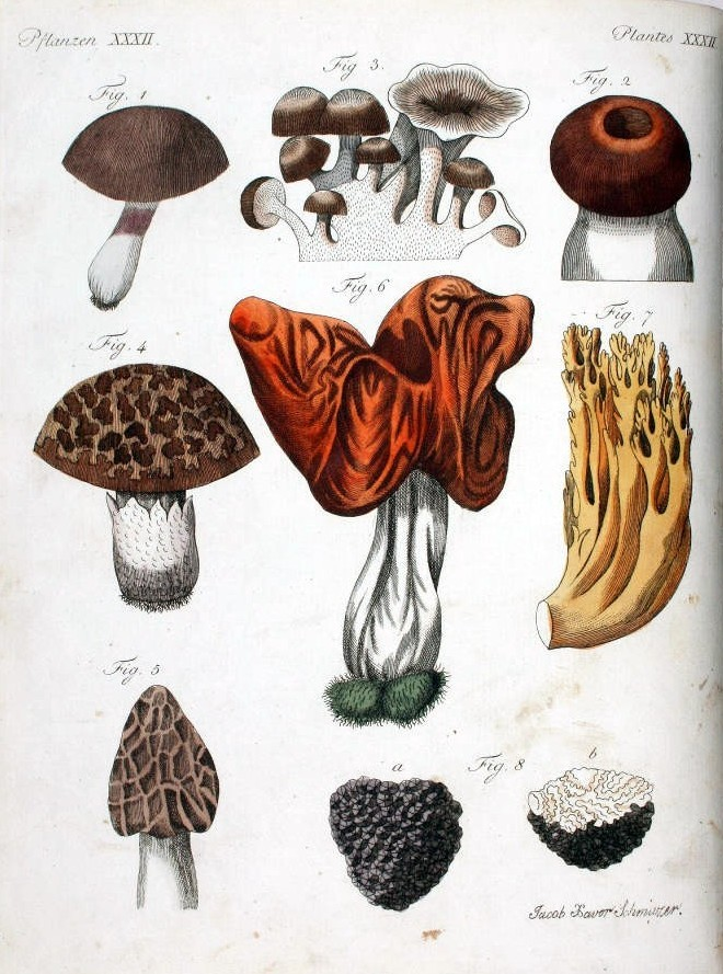 Botanical - Fungi - Educational plate