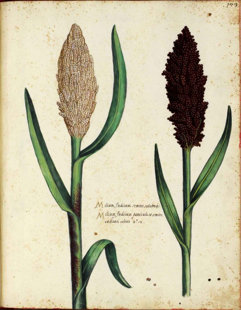 Botanical - Grain and grasses - Italian (1)