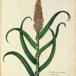 Botanical - Grain and grasses - Italian (2)