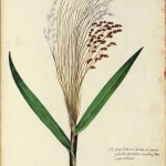 Botanical - Grain and grasses - Italian (3)
