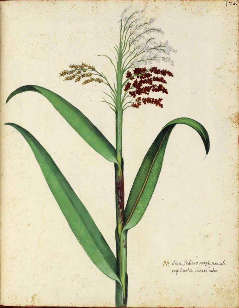 Botanical - Grain and grasses - Italian (4)