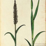 Botanical - Grain and grasses - Italian (5)