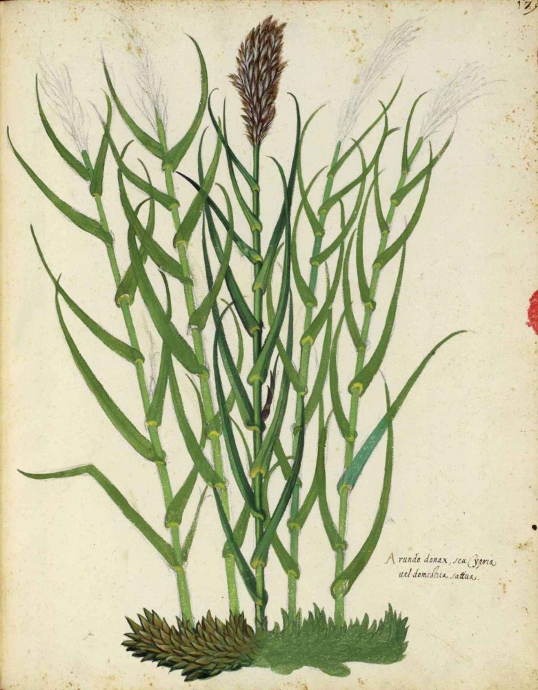 Botanical - Grain and grasses - Italian (6)