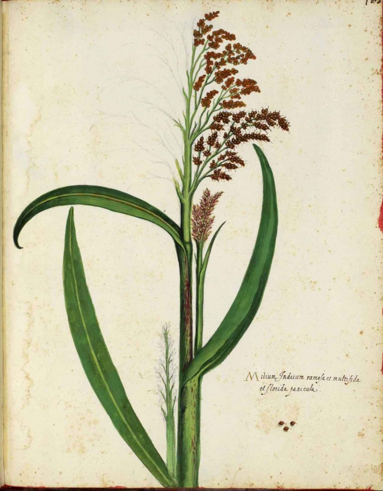 Botanical - Grain and grasses - Italian (7)