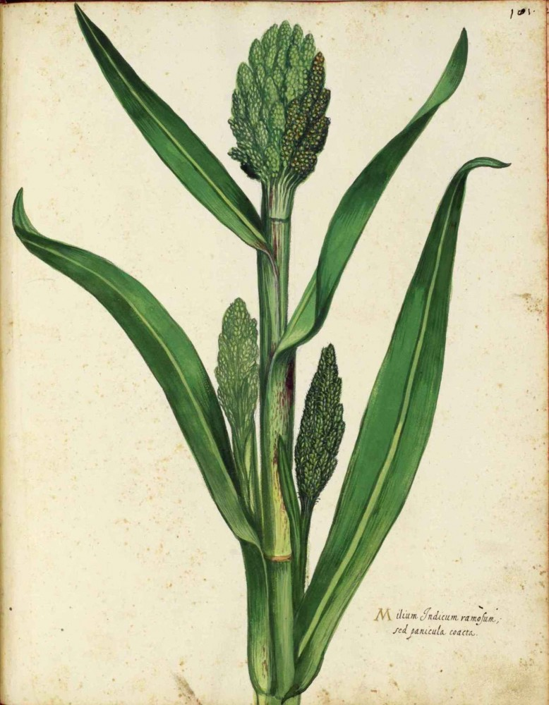 Botanical - Grain and grasses - Italian (8)