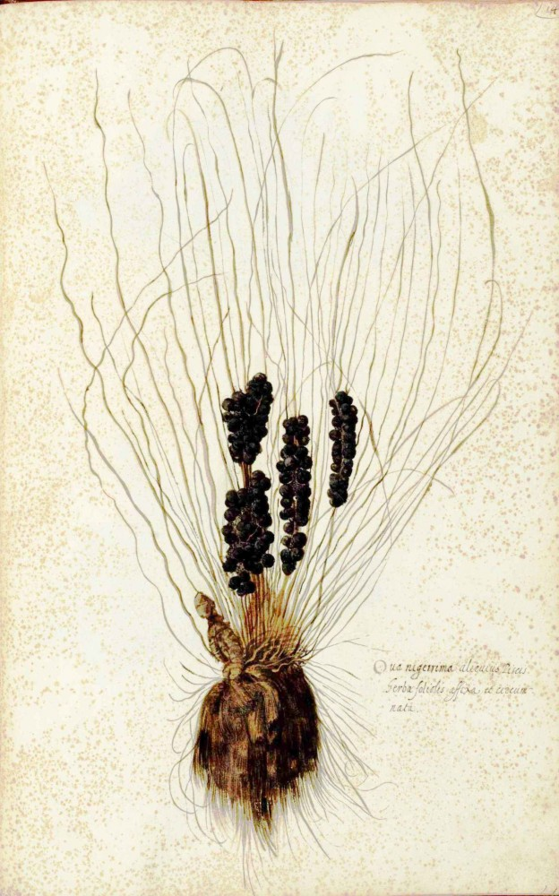 Botanical - Grains and Grasses - Italian - Pathology
