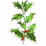 Botanical - Holly with berries - Wayside and Woodland 1895 - Plate 89