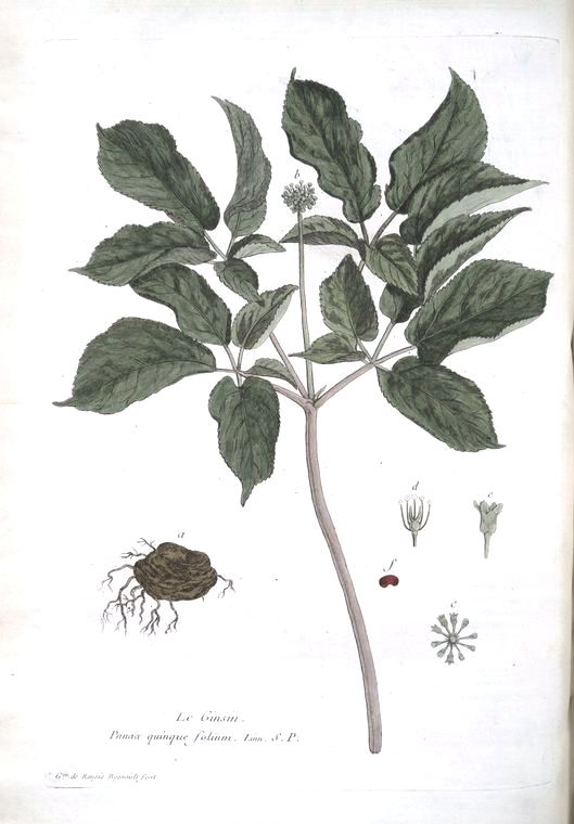 Botanical - Illustration - Ginsing