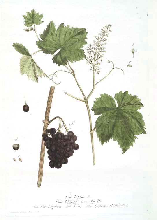 Botanical - Illustration - Grape vine and grapes