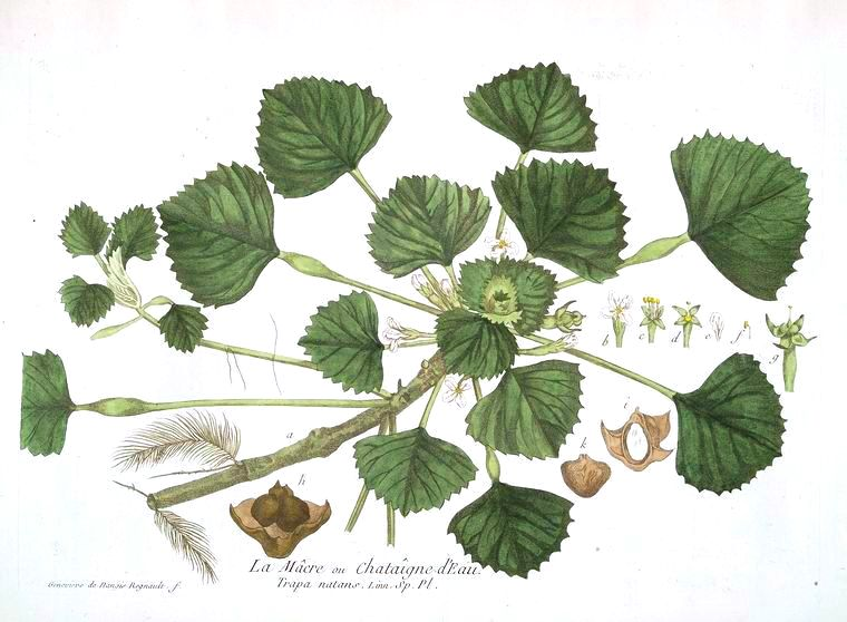 Botanical - Illustration - La Macre