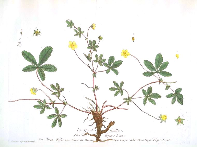 Botanical - Illustration - La Quintelle Femelle
