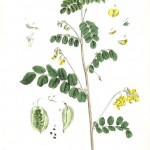 Botanical - Illustration - Le Baguenaudier