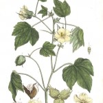 Botanical - Illustration - Le Coton