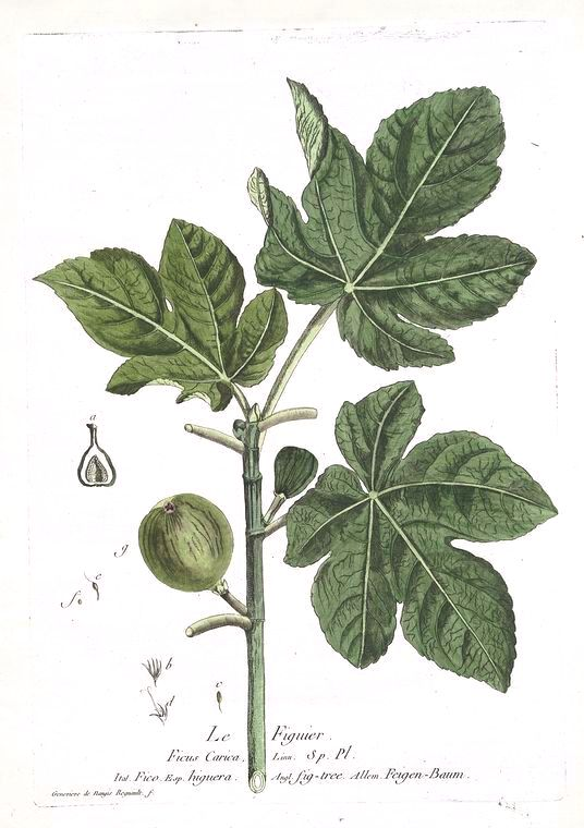 Botanical - Illustration - Le Fig