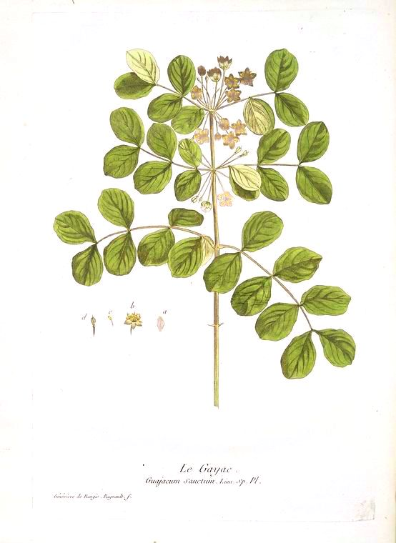 Botanical - Illustration - Le Gayac