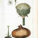 Botanical - Illustration - Onion
