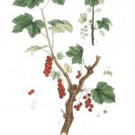 Botanical - Illustration - Red grapes