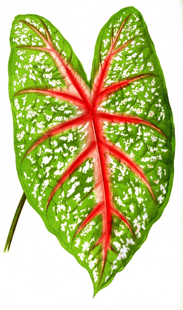 Botanical - Leaf - Floral World and Garden Guide 1876 -  Caladium leaf