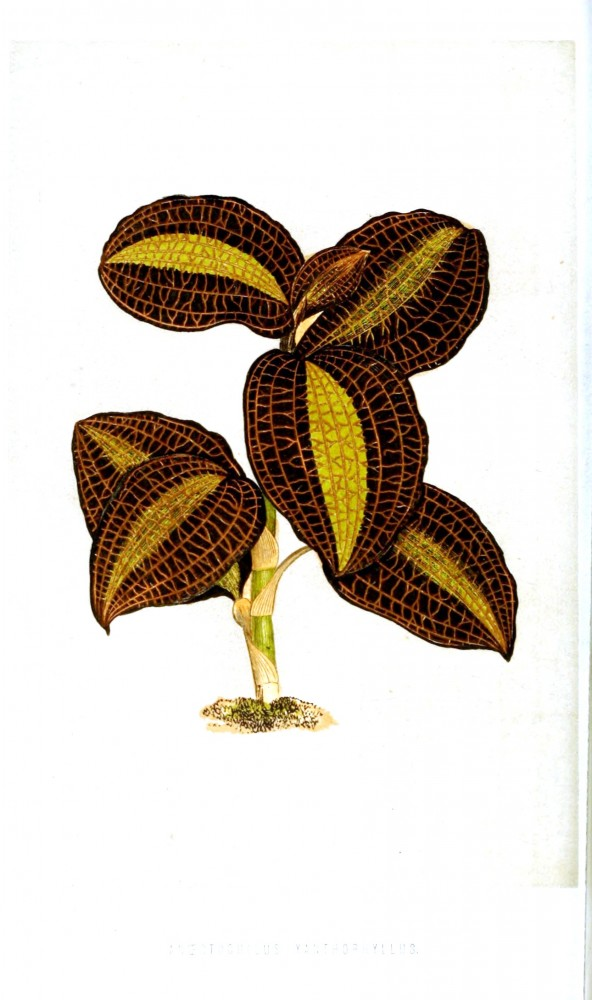 Botanical - Leaf - Floral World and Garden Guide 1878 -  Anoectochilus xanthophyllus orchid
