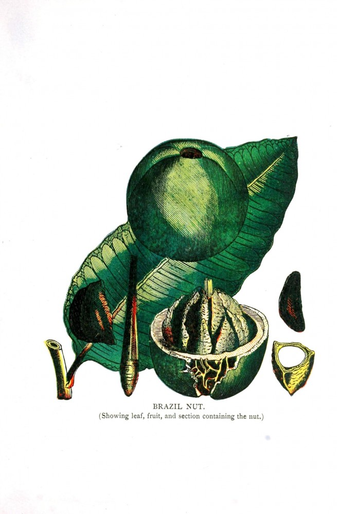 Botanical - Leaf - Illustration -  Brazil nut