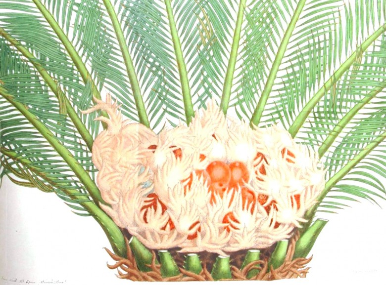 Botanical - Leaf - Palmetto
