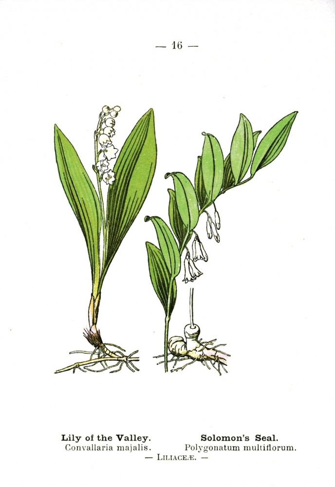 Botanical - Lily of the valley - Wayside and Woodland 1895 - Plate 16
