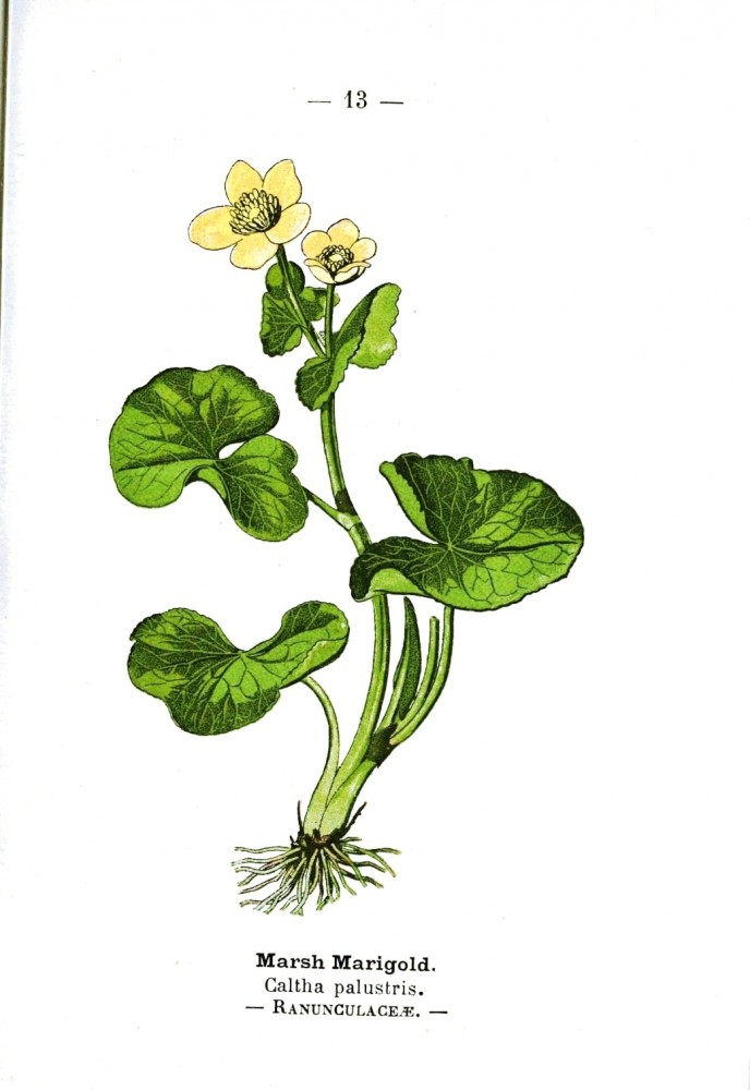 Botanical - Marsh Marigold - Wayside and Woodland 1895 - Plate 12
