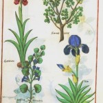 Botanical - Medieval - Flower - Iris and digitalis