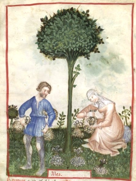 Botanical - Medieval -  Horticultural practices -  (7)