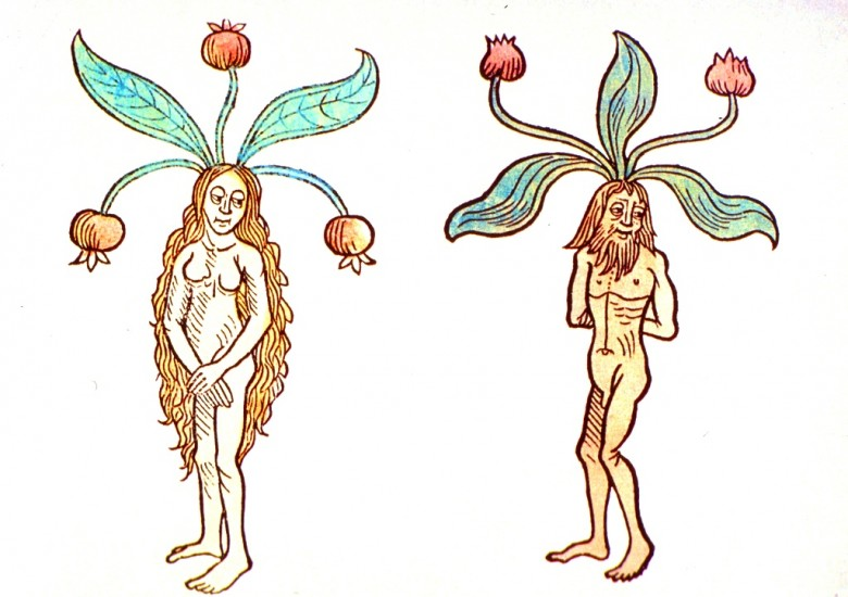 Botanical - Medieval - Male And Female Mandrake