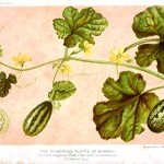Botanical - Miscellaneous - Cucumber - Journal of Bombay