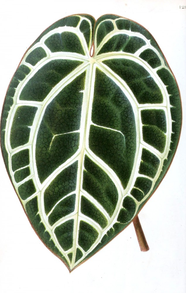 Botanical - Miscellaneous - Houseplant leaf (1)