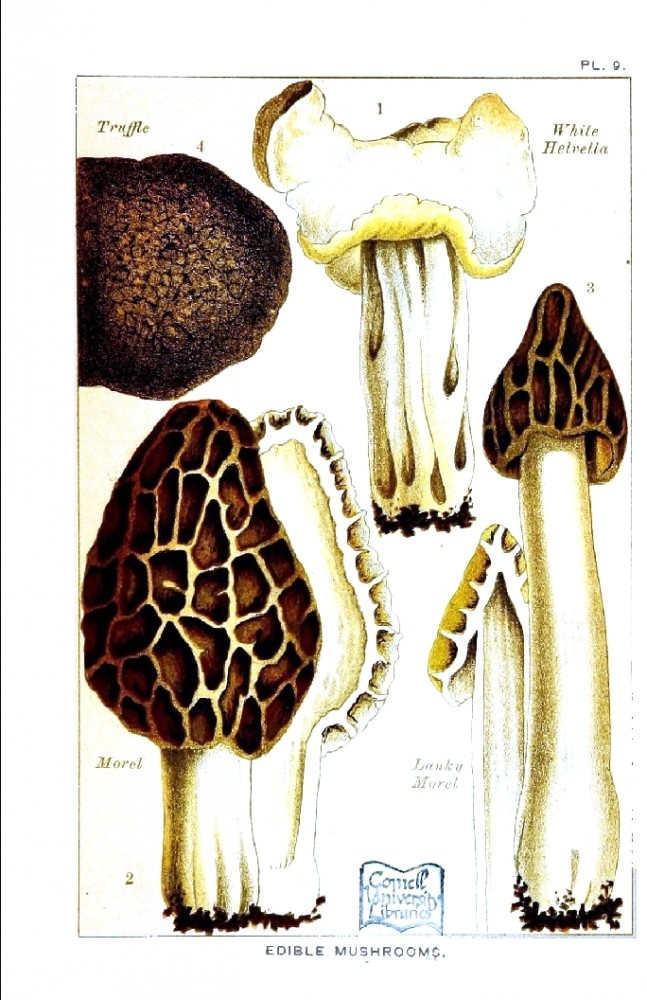 Botanical - Mushroom - Edible and Poisonous Mushrooms - Edible Morell