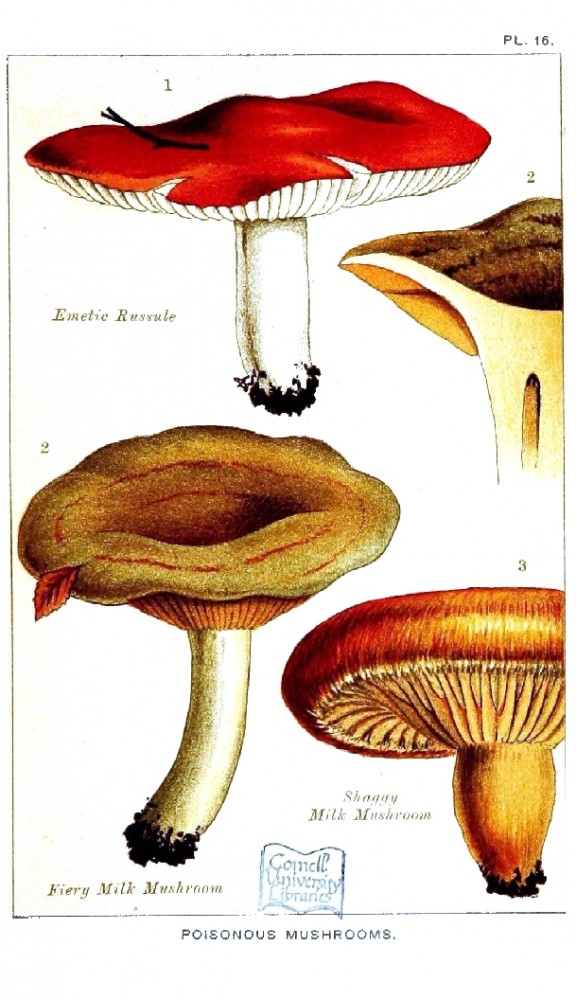 Botanical - Mushroom - Edible and Poisonous Mushrooms - Poisonous Emetic Russule