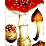 Botanical - Mushroom - Edible and Poisonous Mushrooms - Poisonous Fly Agaric