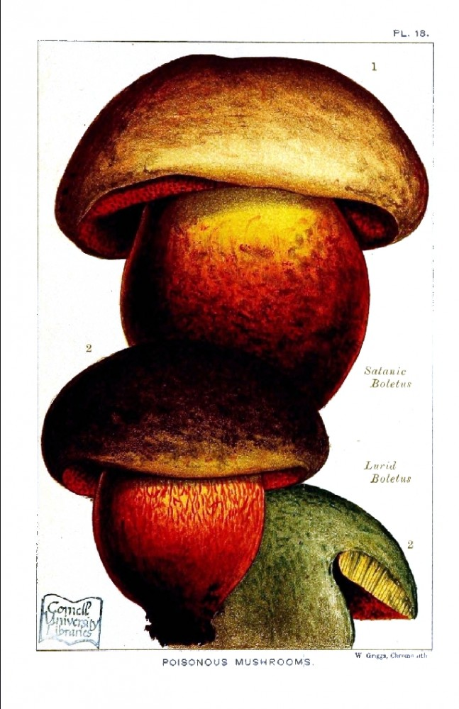 Botanical - Mushroom - Edible and Poisonous Mushrooms - Poisonous Satanic Boletus