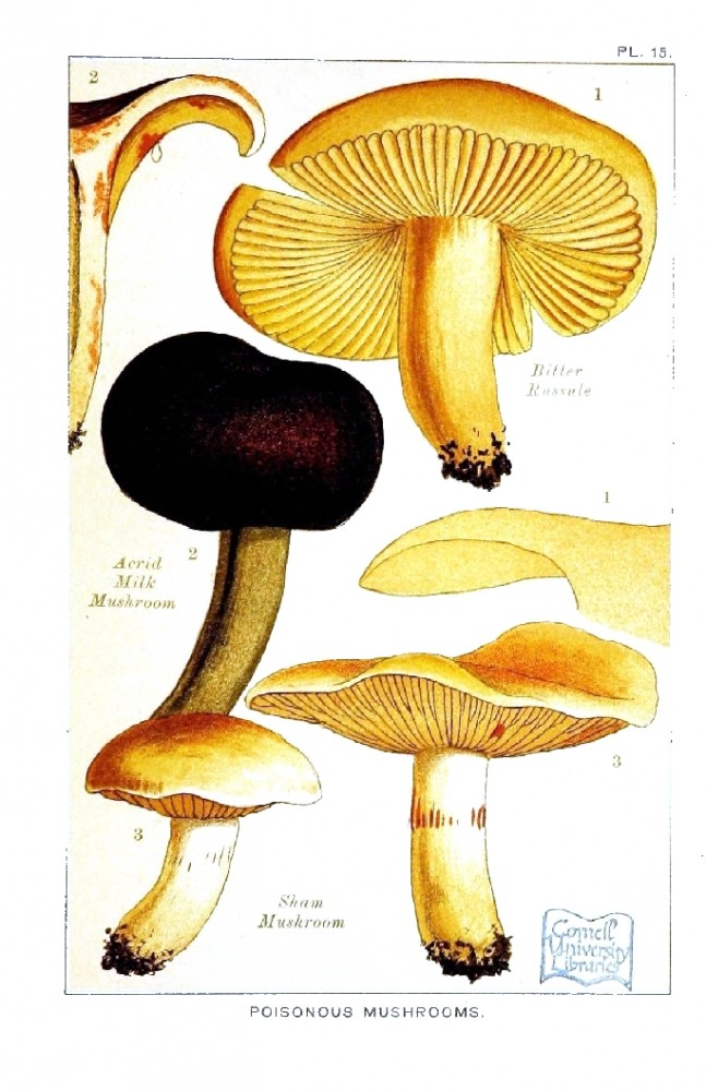Botanical - Mushroom - Edible and Poisonous Mushrooms - Poisonous Sham Mushroom