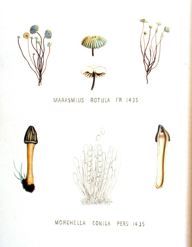 Botanical - Mushroom - German - Marasmius rotula Morchella conica
