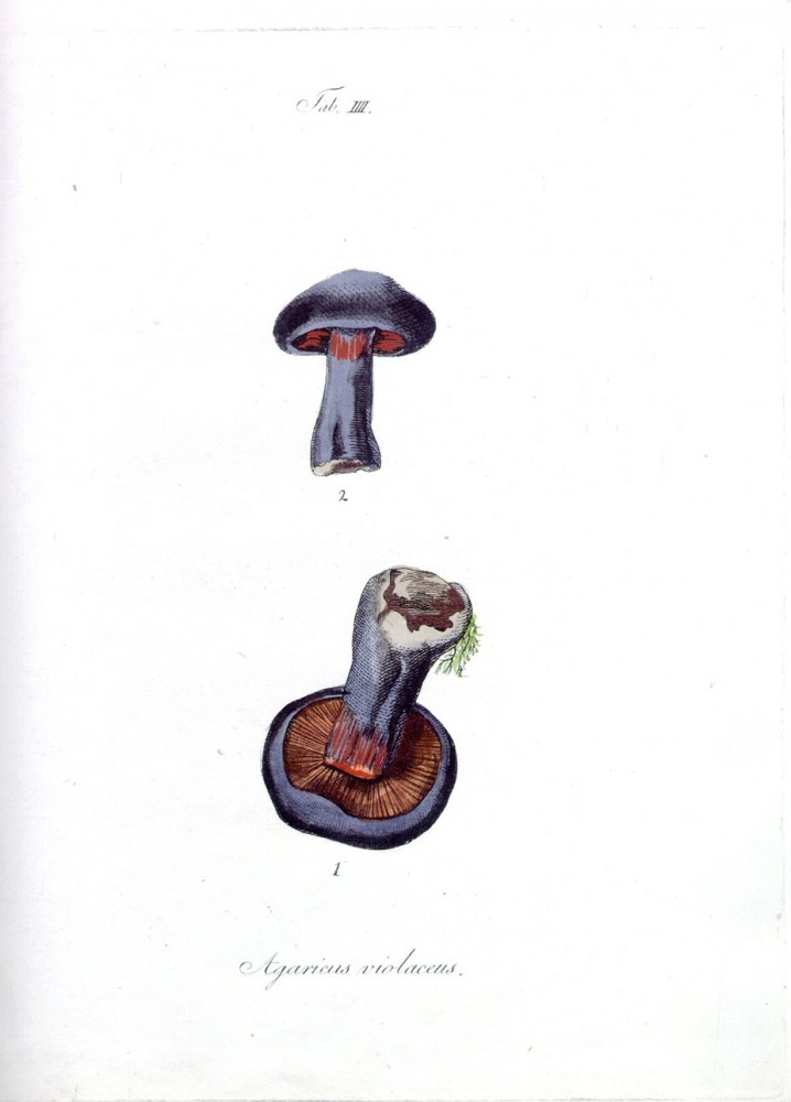 Botanical - Mushroom - Hedwig - Educational plate -  (3)