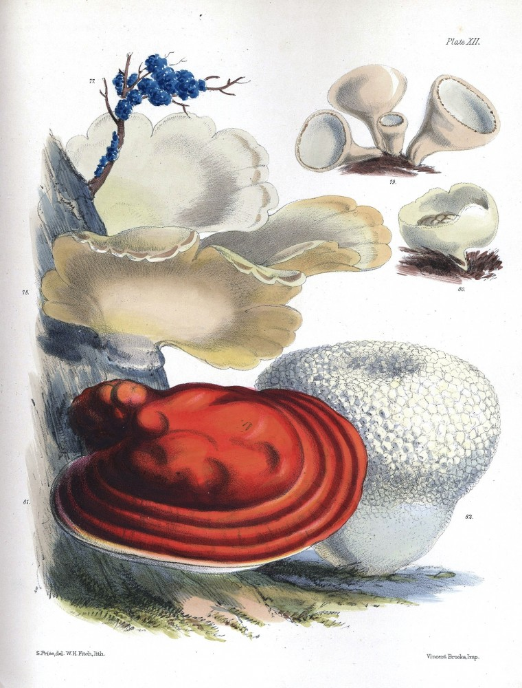 Botanical - Mushroom - Red Bracket
