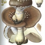 Botanical - Mushroom - With some dirt
