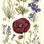 Botanical - New British Herbal - Flowers of Cornfields