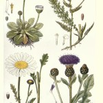 Botanical - New British Herbal - Flowers of Fields and Meadows