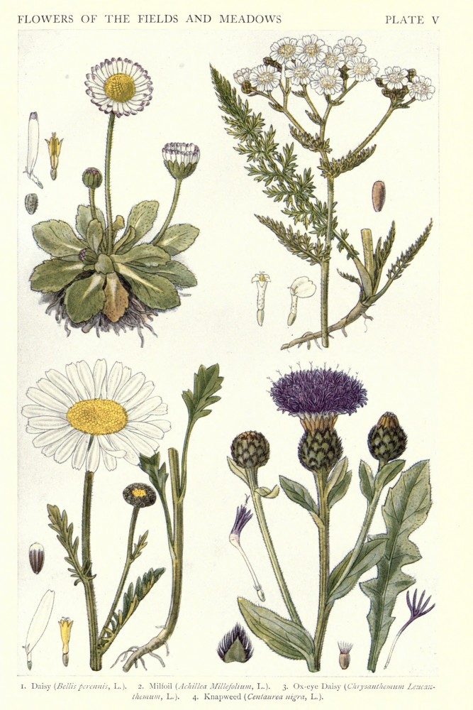 Botanical �C New British Herbal �C Flowers of Fields and Meadows