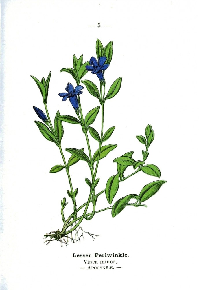 Botanical - Periwinkle - Wayside and Woodland 1895 - Plate 6