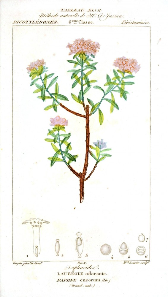Botanical - Plant Taxonomy - French 1819 -  (16)