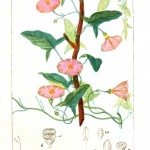 Botanical - Plant Taxonomy - French 1819 -  (19)