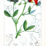 Botanical - Plant Taxonomy - French 1819 -  (25)