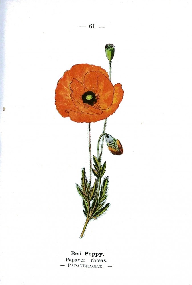 Botanical - Poppy - Wayside and Woodland 1895 - Plate 61